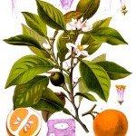 néroli 20070111092900!Citrus_aurantium_-_Köhler?s_Medizinal-Pflanzen-042-2